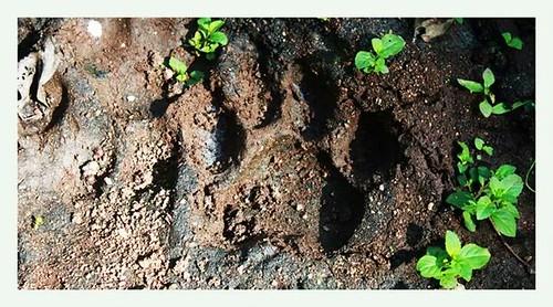 tigerchhattisgarhbhoramdeoindiawildlifecanonphotographyindianature