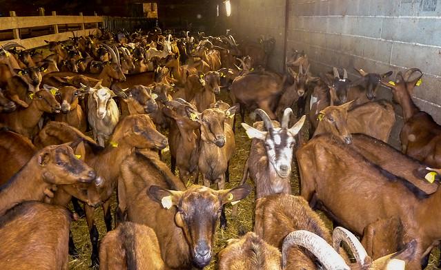 Elevage de chèvres - Ferme de Lascoste Rocamadour