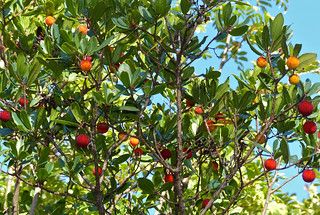 Strawberry Tree (Arbutus unedo) | by berniedup