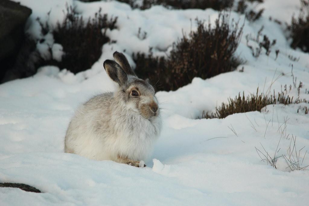 The Christmas Bunny.The Christmas Bunny Derbyshire Harrier Flickr