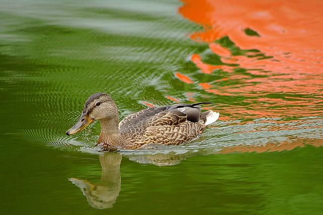Schwimmente