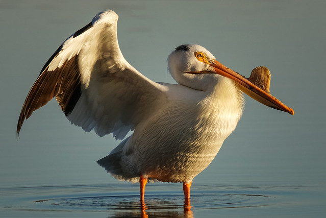 Pelican Sunrise[Explored]