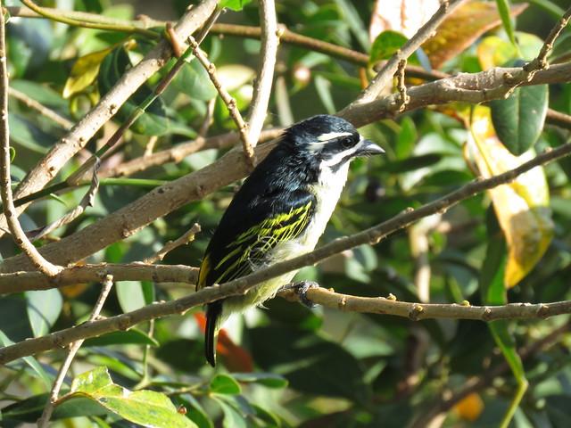Golden-rumped Tinkerbird - St Lucia, SA Sept 2016 (3)