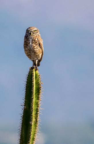 Burrowing Owl   by beckstei