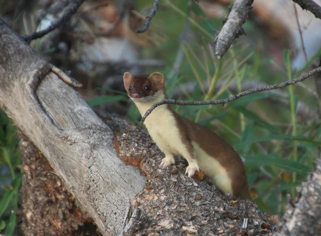 Long-tailed Weasel (Mustela frenata); Beartooth Mountains, Wyoming