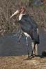Marabou Stork by sr667