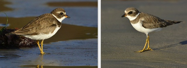 Two Semi-palmated Plovers, Morro Strand State Beach