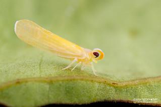 Planthopper (Derbidae?) - DSC_2678