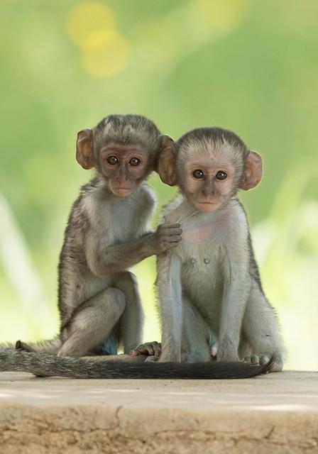 Vervet Monkey, Chlorocebus pygerythrus, Bucklands Farm, Turk Mine, Matabeleland, Zimbabwe