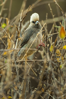 White-headed Mousebird - Samburu NH8O5520