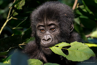 Baby gorilla | by Tanya R.