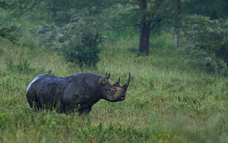 East African Black Rhino Bull in the rain. | by Rainbirder