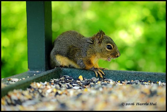 Little Squirrel Is  Curious About Me - Richmond Nature Park XT3363e