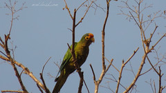 Orange-fronted Parakeet (Eupsittula canicularis) Barrio de La Cruz, Oaxaca