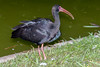 Bare-faced (Whispering) Ibis    Zamurita (Phimosus infuscatus) by ferjflores