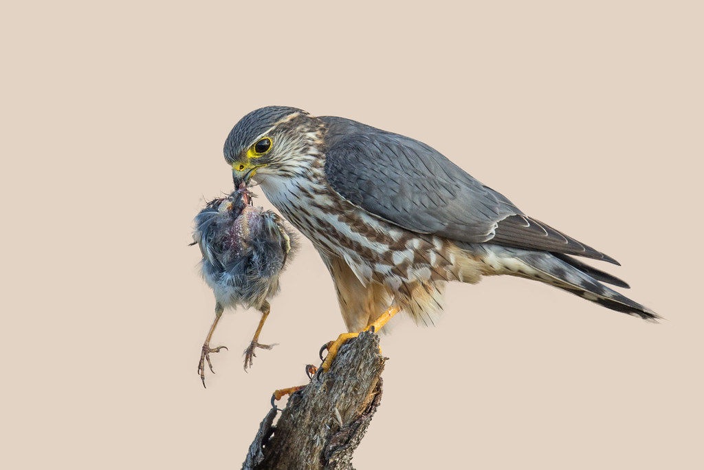 Merlin with Sparrow