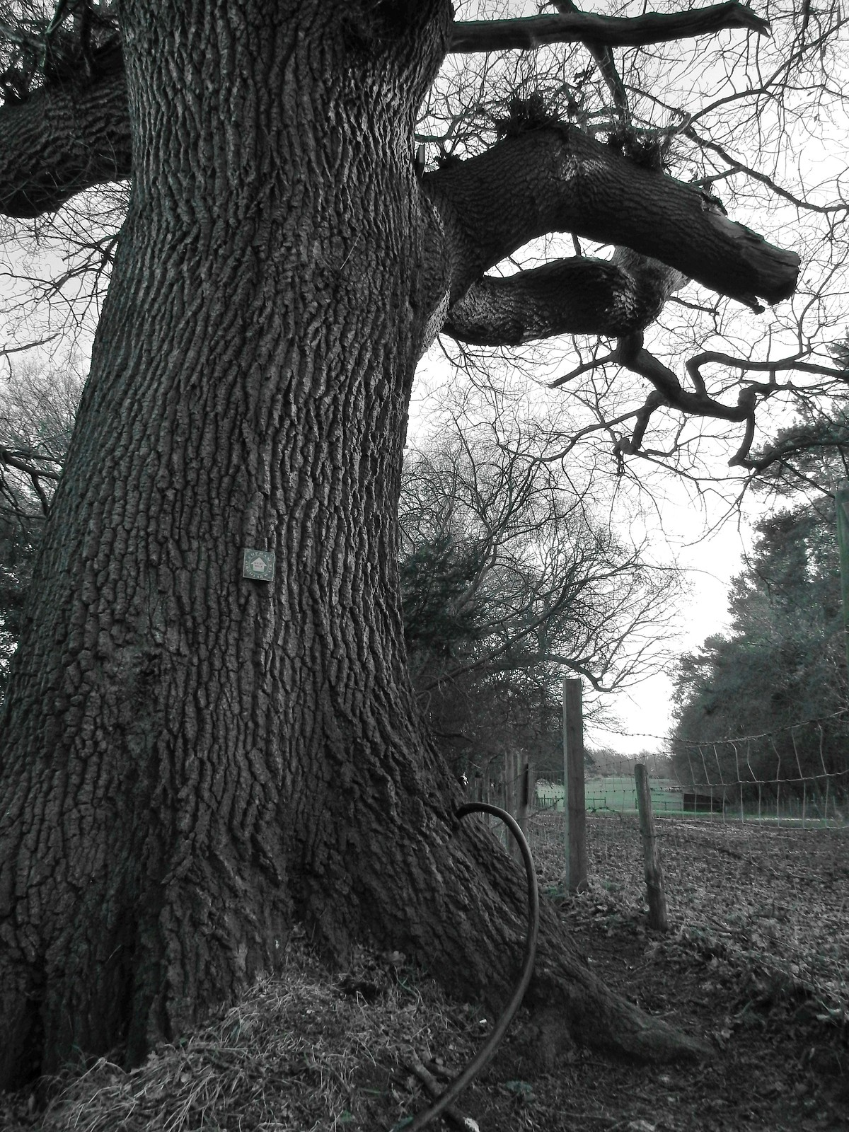 Black and white oak, green field Hayes to Knockholt