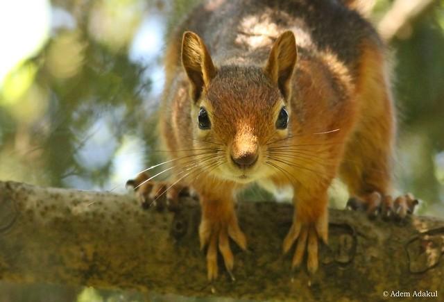 Caucasian Squirrel / Sciurus anomalus