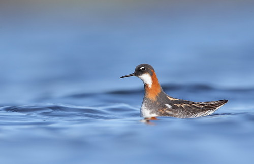 Red necked phalarope | by Mike Mckenzie8