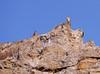 Madagascar kestrels (Falco newtoni), Isalo National Park by Niall Corbet