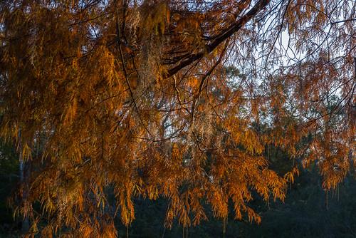 trees fallcolors gh2 conwaysc waccamawriver 14140mm panasoniclumixgh2 conwayriverwalk