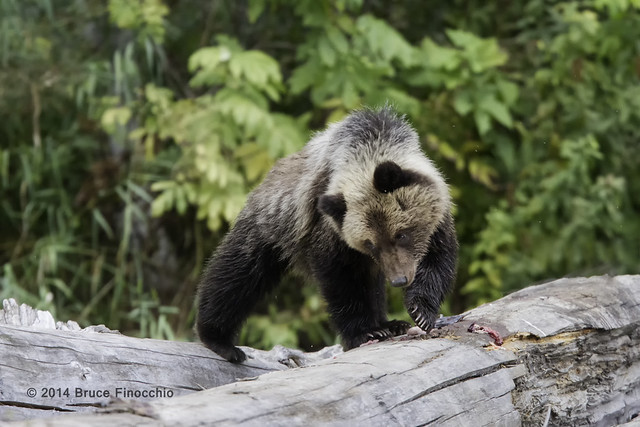Young Bear Cub Leaves Last Remains Of Salmon On Log