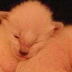 Bluebelle's kittens Dec 2014 Week One 3