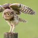 Burrowing Owl - Wing Exhibition IV by Thelma Gatuzzo