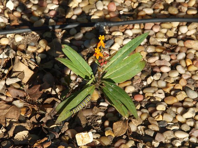 N1039683 Milkweed start w flower w monarch caterpillar
