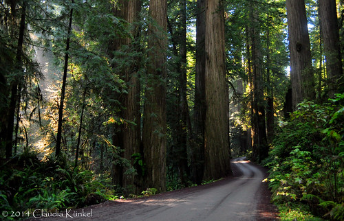 california trees forest redwood sequoiasempervirens jedediahsmithredwoodsstatepark howlandhillroad