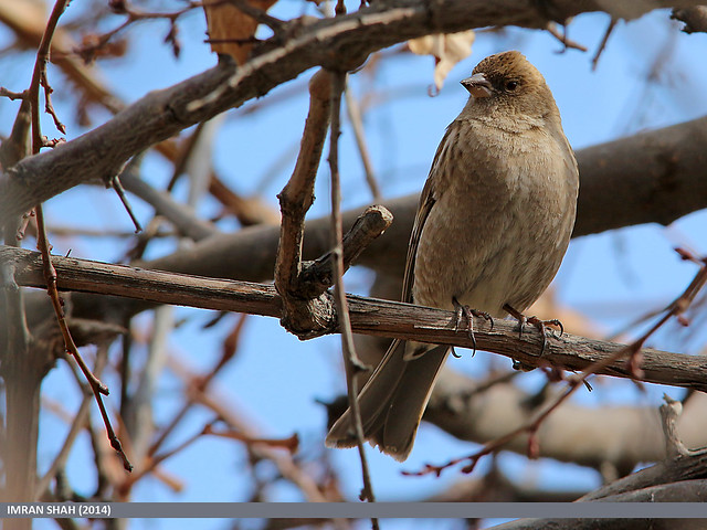 Plain Mountain Finch (Leucosticte nemoricola)