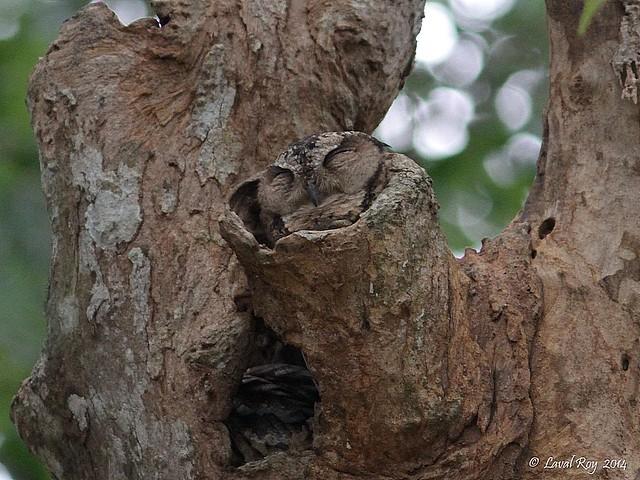 1.05742 Petit-duc indien / Otus bakkamoena bakkamoena / Indian Scops-owl