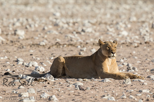 africa vacation cat canon mammal big feline lion bigcat lions endangered predator namibia canoneos lioness teleconverter bigcats carnivore vulnerable 2015 pantheraleo kunene 14xtc largefelines 7dmarkii canon7d2 canon7dmarkii canon7dmark2 canon500mmf414x robsallphotography 7dm2 7dmark2 7dmii canoneos7dmark2 canon7dm2 canoneos7dm2 14xiiitc 50014x canon500mmf4lisiiusm14xiii canon500mmf4ii14xiii