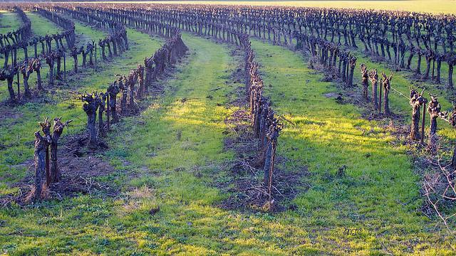 Pieds de vigne bien secs en hiver......Completely dry vines in winter ......
