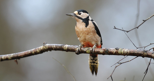 Male Great Spotted Woodpecker 'Dendrocopos major'
