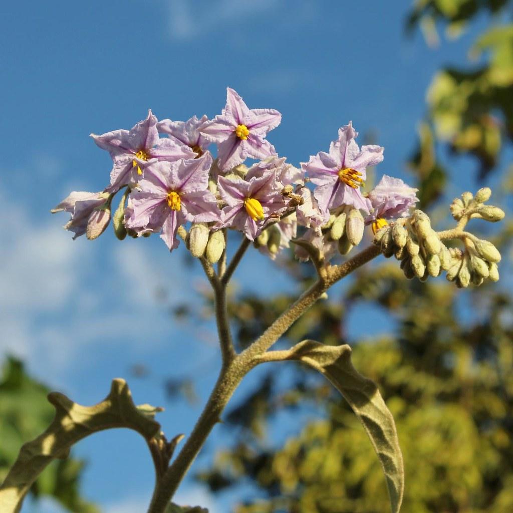 Solanum paniculatum