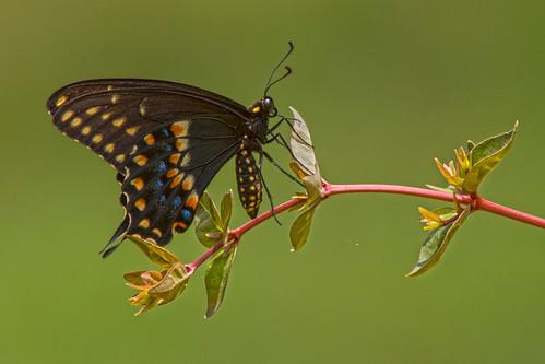 blackswallowtail butterfly mariposa papiliopolyxenes mariposadecoladegolondrinanegra nature wildlife fauna naturaleza