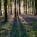 Bluebells, Beech Forest by Alan MacKenzie