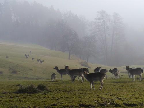 mist fog austria österreich nebel fallowdeer niederösterreich autriche thann warth loweraustria buckligewelt damwild kirchau zottlhof