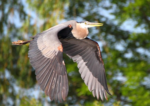 great blue heron greatblueheron richmondgreen bird flight birdinflight