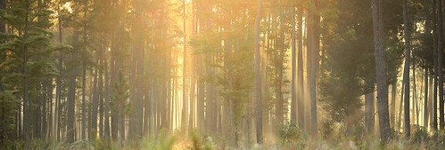 summer lana forest sunrise landscape woods louisiana pines savana gramlich abitasprings tnc thenatureconservancy canoneos5d sttammanyparish abitacreekflatwoodspreserve lanagramlich dailynaturetnc14