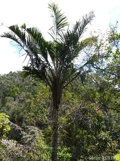 Ravenea madagascariensis   by olivier.reilhes