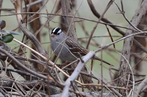 White-crowned Sparrow, Virginia