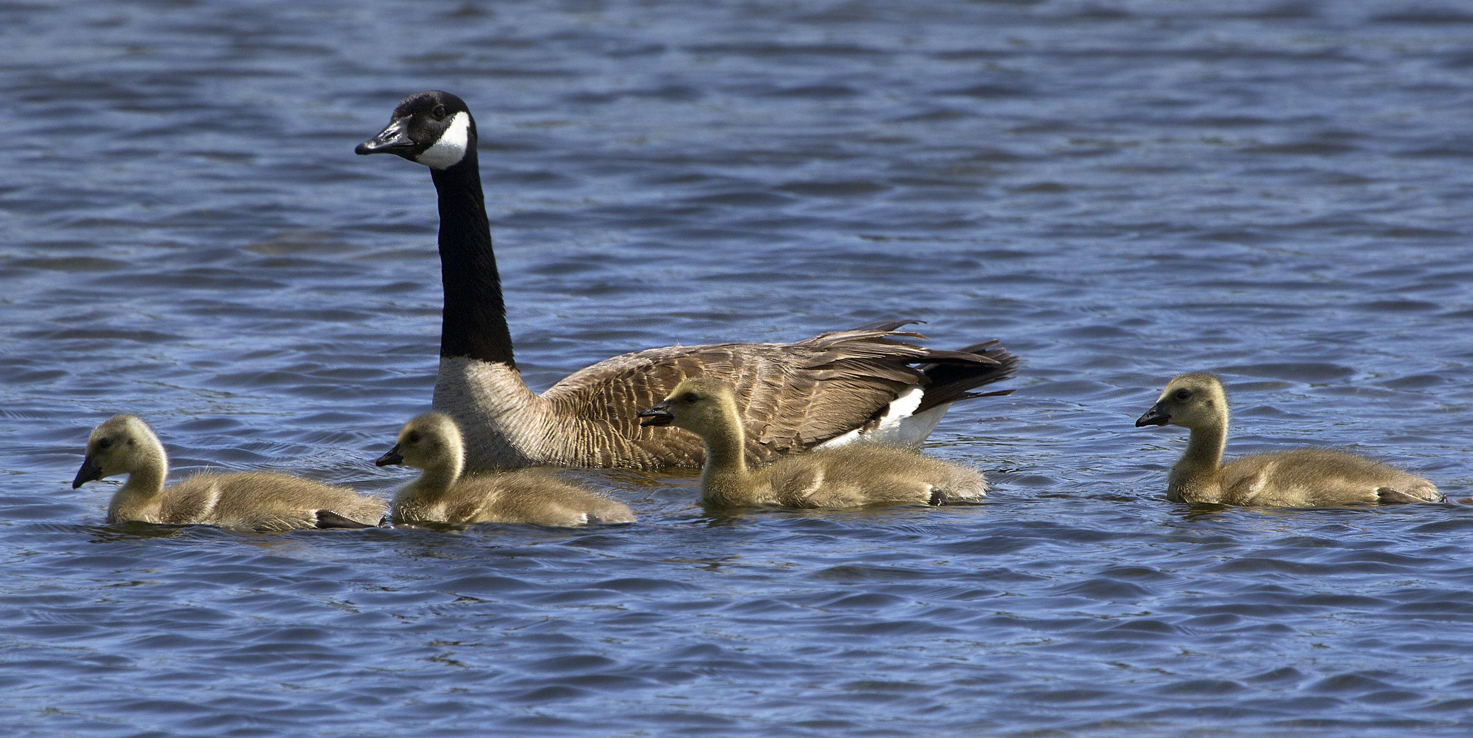 Canadian goose geese goslings
