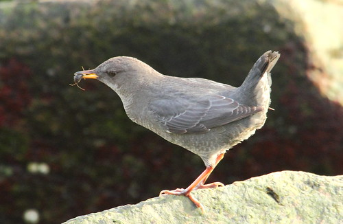 American Dipper with isopod | by Rob -Alexander
