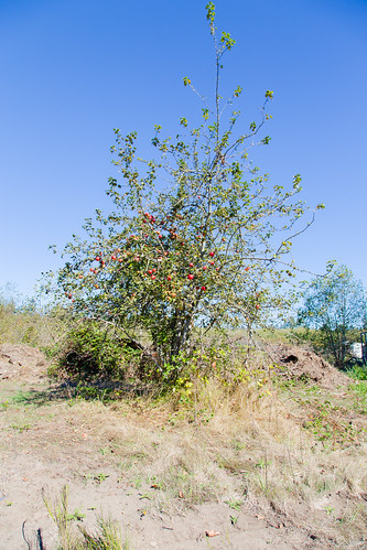 Apple Tree - Point Roberts | by Elsbro