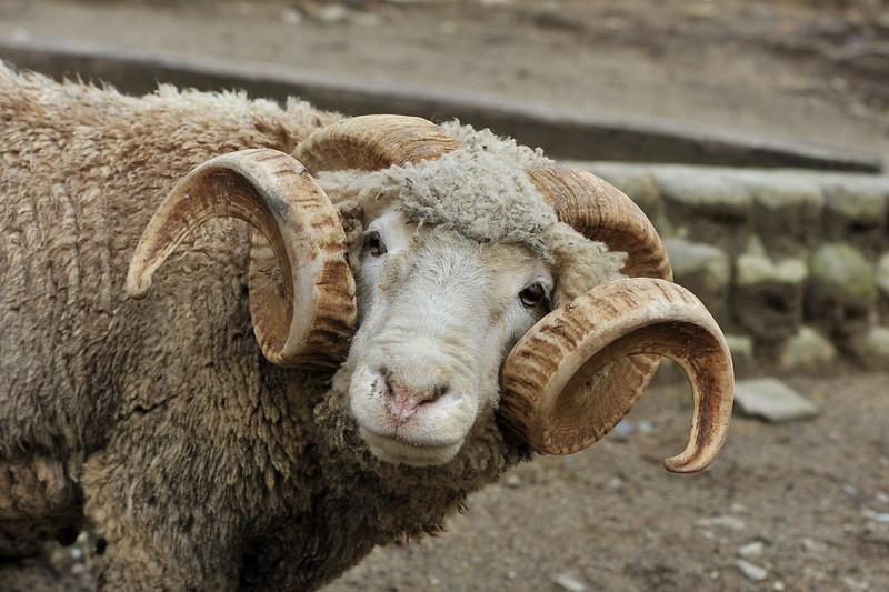 アモン角のヒツジ(牡羊)「ルーク」