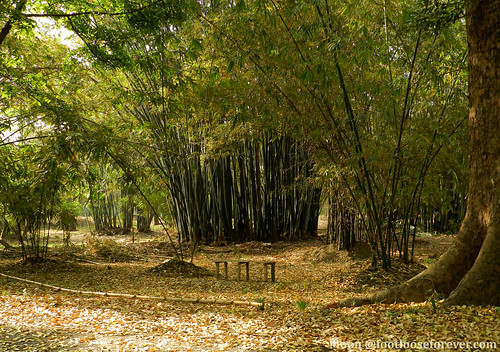 Bamboo Orchards - Shibpur Botanical Garden #kolkata | by moon@footlooseforever.com