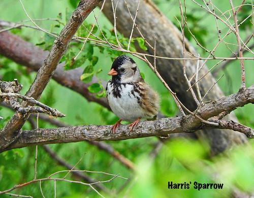 --Sparrow-Harris'-NE-DSCN9123 copy 2 | by Tricolor Brian