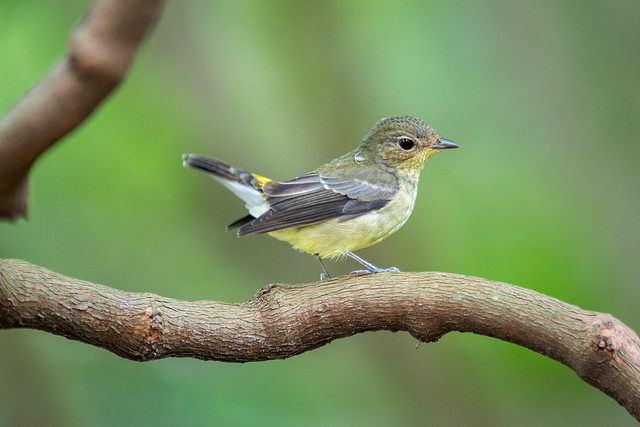 Yellow-rumped Flycatcher (female) [Explored]